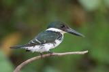 Green Kingfisher - Groene IJsvogel - Martin-pêcheur vert (f)
