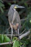 Bare-throated Tiger Heron - Mexicaanse Tijgerroerdomp - Onoré du Mexique