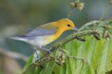Prothonotary Warbler - Citroenzanger - Paruline orangée