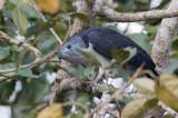 Grey-headed Kite - Grijskopwouw - Milan de Cayenne
