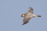 Birds of Macaronesia