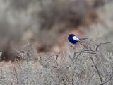 White-winged Fairywren - Witvleugelelfje - Mérion leucoptère (m)