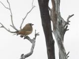 Crested Bellbird - Kuifdikkop - Carillonneur huppé (m)
