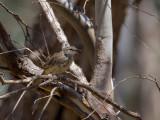 Rufous Songlark - Roodstuitgrasvogel - Mégalure de Mathews