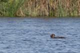 Musk Duck - Australische Muskuseend - Érismature à barbillons (m)