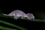 Spearpoint leaf-tailed gecko