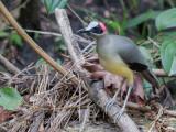 Birds of Gabon 2017
