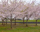 2019 Credit Union Cherry Blossom 10 Mile