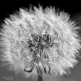 Cause I'm in a field of dandelions...-Ruth B.