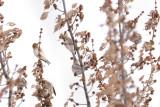 Sizerin flammé / Common redpoll ( et blanchâtre ? ) + chardonneret
