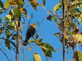 RUSTY BLACKBIRD / QUISCAL ROUILLEUX (Sep 2018)
