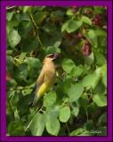 Cedar Waxwing enjoying a Serviceberry