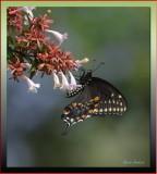 Spicebush Swallowtail on Abelia Grandiflora
