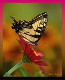 Tiger Swallowtail on Zinnia