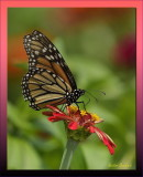 Monarch butterfly last call on a Zinnia bloom /  Have a great weekend