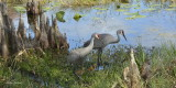 Sand Hill Cranes  with there chicks