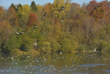 Geese gathering for a meeting