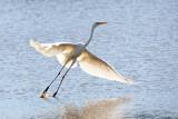 Grote Zilverreiger / Great Egrets