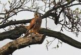 Roofvogels / Birds of Prey