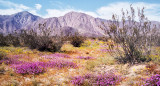 Memories from the Past - Anza Borrego State Park in Spring