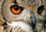 Owl Colour.jpg