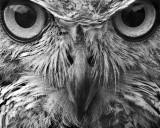 Owl BW.jpg