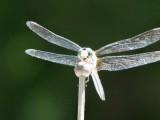damsel & dragon flies