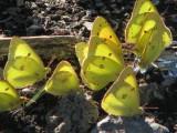feasting butterflies