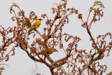 Figbirds, Orioles, Turnagra