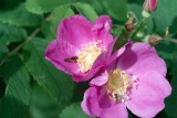 Wild Rose with insects.tif