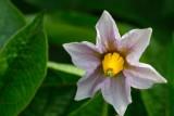 Potato flower.tif