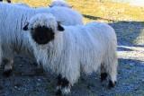 Zermatt. Blacknose sheep