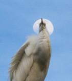 egrets__all