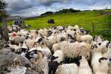 464_Sheep_Shots_1.jpg