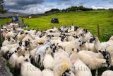 464_Sheep_Shots_2.jpg