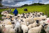 464_Sheep_Shots_3.jpg