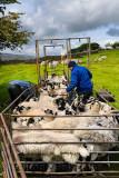 464_Sheep_Shots_4.jpg