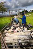 464_Sheep_Shots_5.jpg