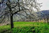 vines and cherry tree