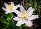 fleurs sauvages.-wild flowers