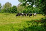 les vaches normandes