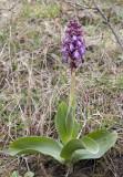 Himantoglossum robertianum.6.1.jpg