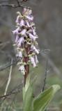 Himantoglossum robertianum. Closer 1.jpg