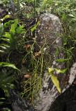 Rhipsalis baccifer.2jpg.jpg