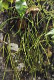 Rhipsalis baccifer.3.jpg