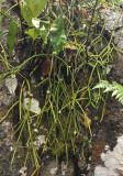Rhipsalis baccifer.5.jpg