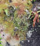 Rhipsalis baccifer.6.jpg