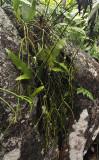 Rhipsalis baccifer.jpg