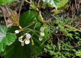 Begonia seychellensis. Closer.1.jpg