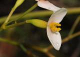 Begonia seychellensis. Female flower close-up.jpg
